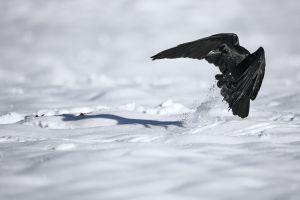 Grand Corbeau à l'atterrissage