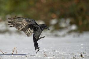 Grand-Corbeau à l'atterrissage