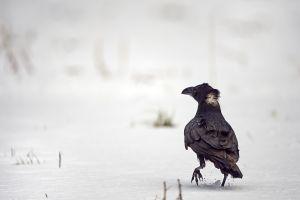 Grand-Corbeau... ça décoiffe