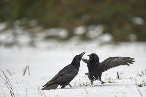 Grand-Corbeau en chamaille