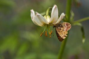 Lys_Martagon et papillon