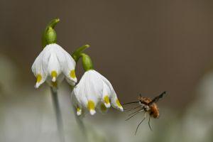 Atterrissage d'un insecte sur Nivéole du printemps