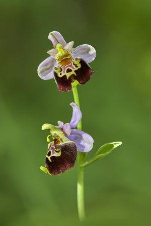 Orchis-Bourdon