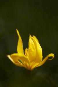 Tulipe_Sauvage
