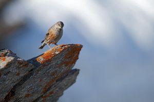 Accenteur alpin
