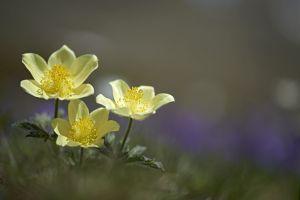 anemone-souffree-1-12