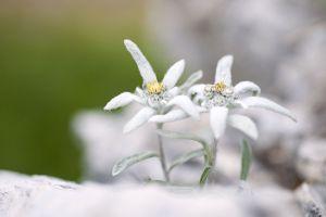 edelweiss-1-12