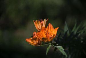 Lys orangé