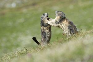 Marmottes