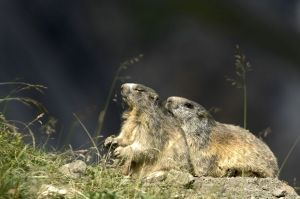 marmottes-2-4