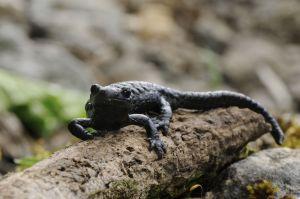 Salamandre noire